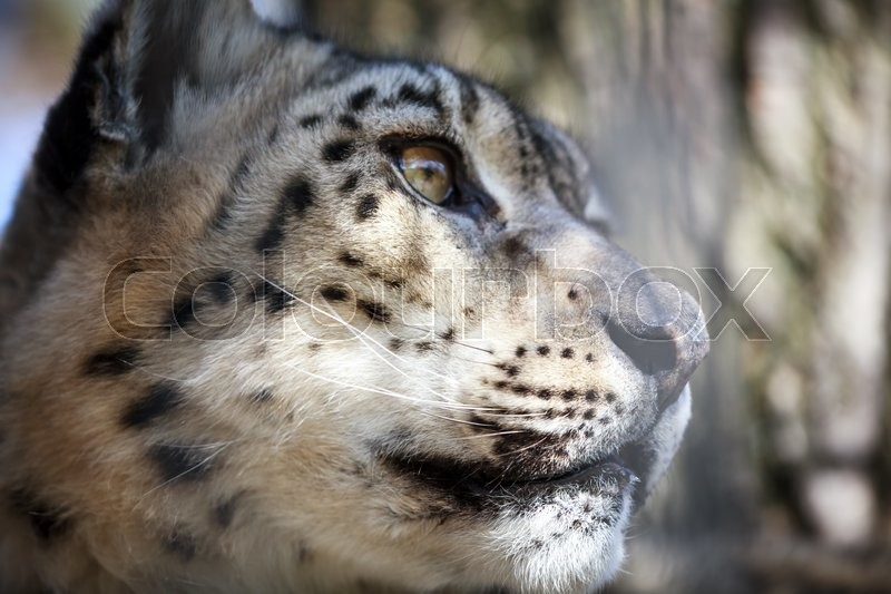 Close-up portrait of a snow leopard or irbis, stock photo