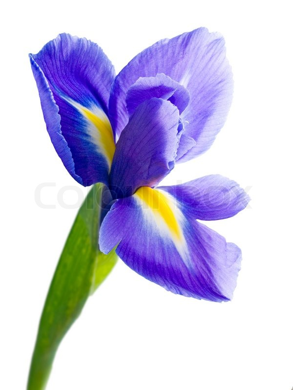 blue iris on white background isolated stock photo. Black Bedroom Furniture Sets. Home Design Ideas