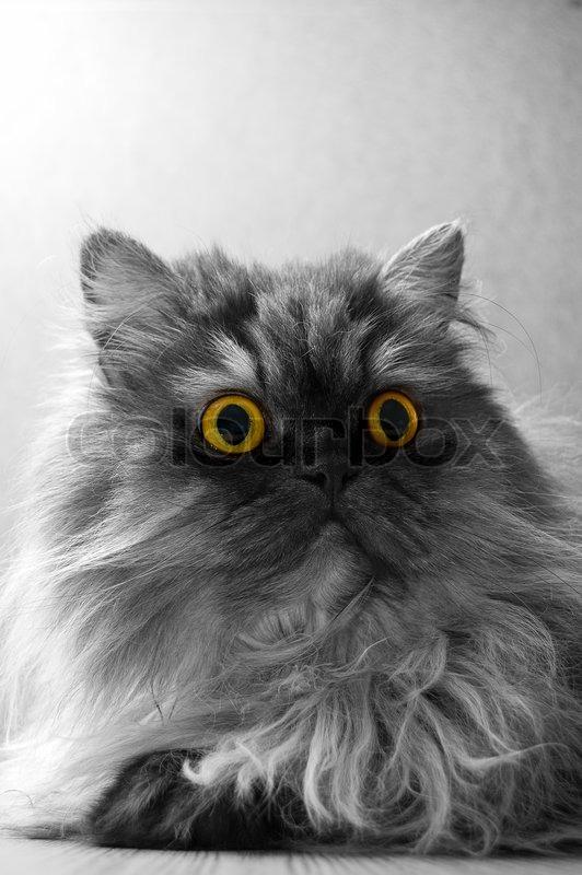 Grey Persian cat on a grey background. Bright yellow eyes ...