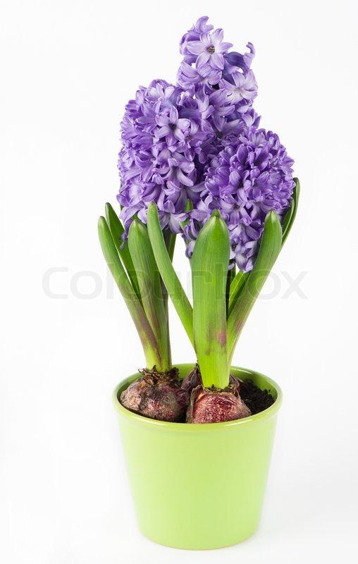 Frühling Hyazinthe Blume im Topf   Stockfoto   Colourbox
