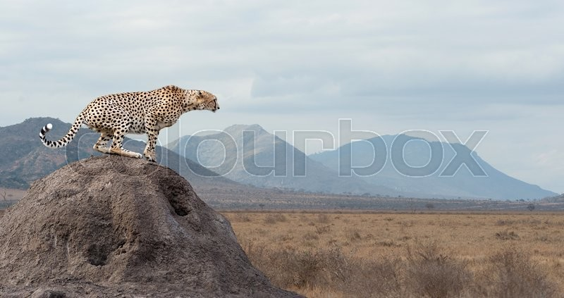 Wild african cheetah, beautiful mammal animal. Africa, Kenya, stock photo
