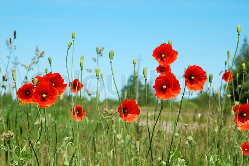 rote mohnblumen in gras und landschaft stockfoto colourbox. Black Bedroom Furniture Sets. Home Design Ideas