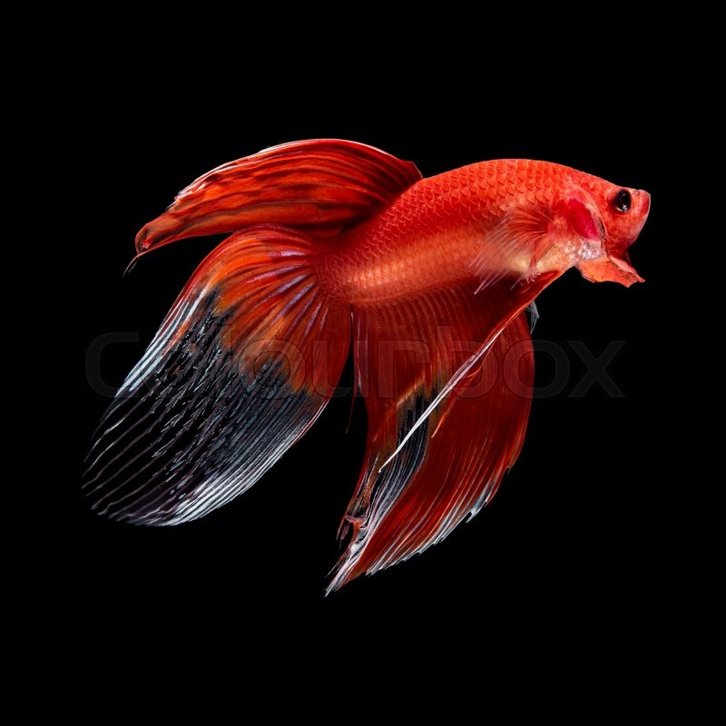Dark red betta fish - photo#54