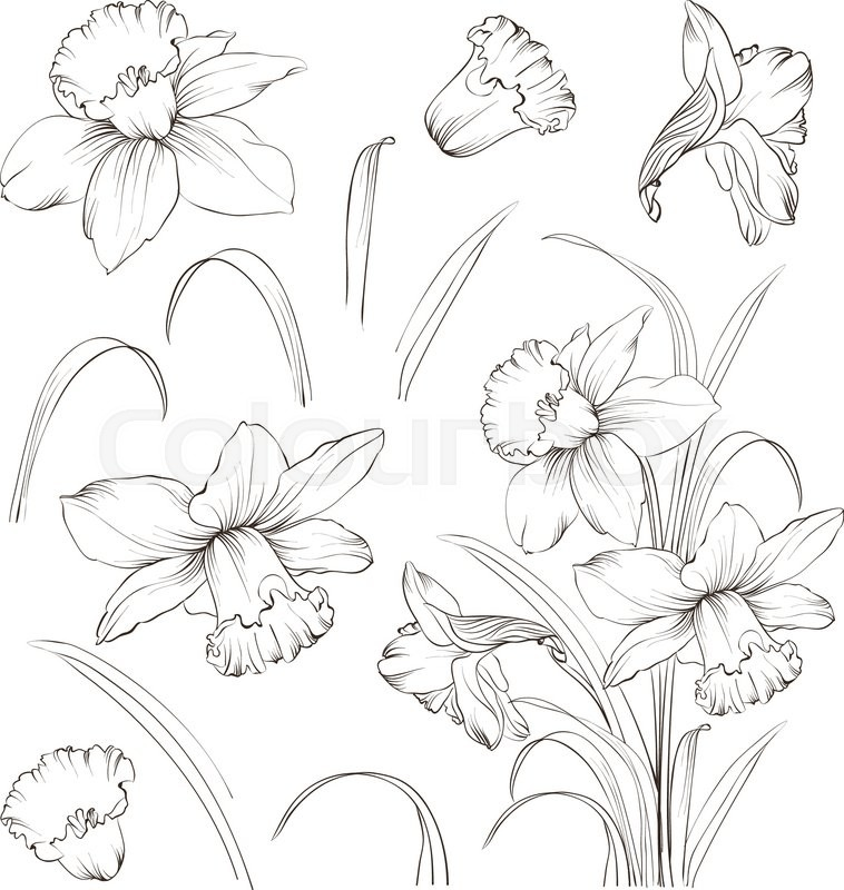 Line Drawing Spring Flowers : Set of line drawing narcissus daffodils blossom bundle