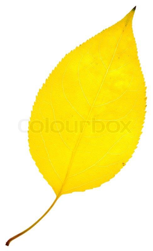 gule blade