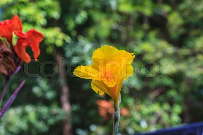 Yellow canna flower in the garden thailand stock photo colourbox mightylinksfo