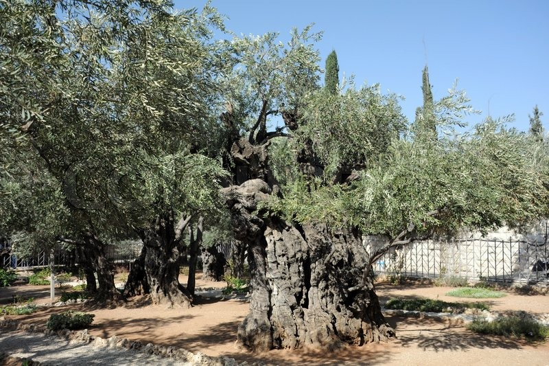 Ancient olive trees in the garden of gethsemane in for Age olive trees garden gethsemane