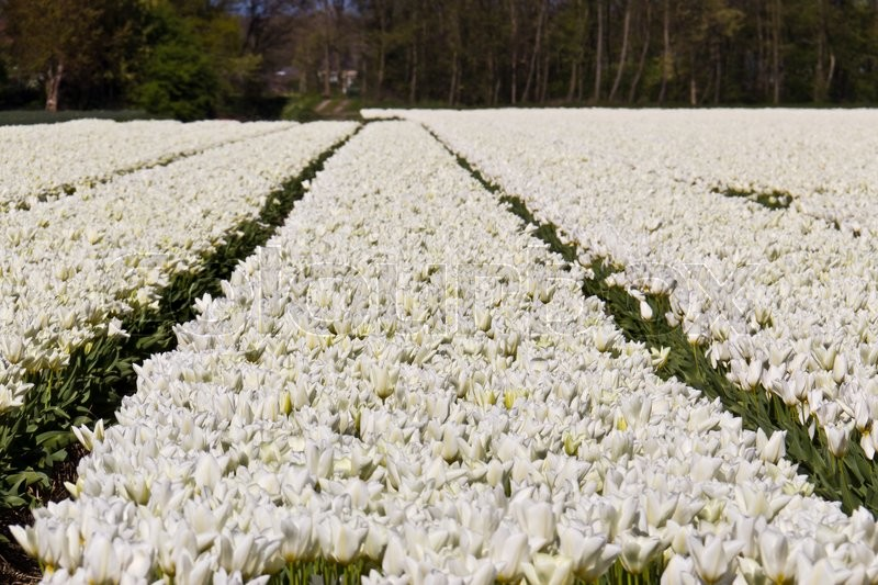 White tulip flowers growing on a farm in netherlands stock photo white tulip flowers growing on a farm in netherlands stock photo colourbox mightylinksfo