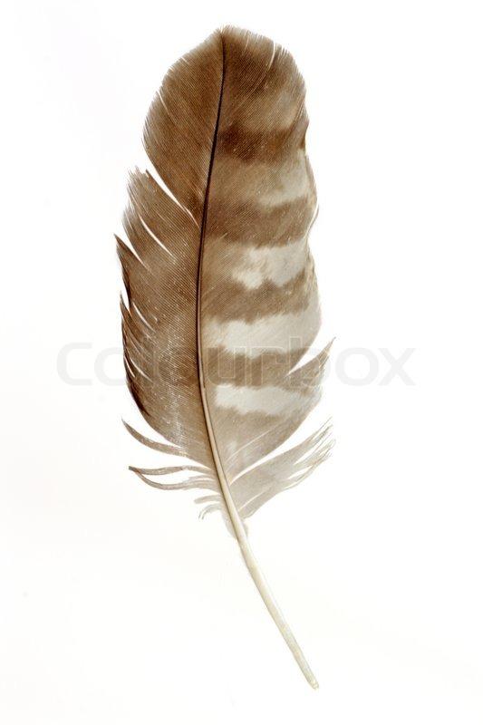 Stock foto af musvåge fjer isoleret på hvid baggrund