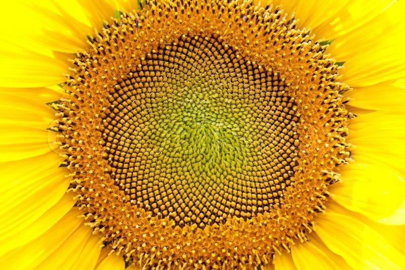 nature hintergrund von einem hellen bl hen sonnenblumen stockfoto colourbox. Black Bedroom Furniture Sets. Home Design Ideas
