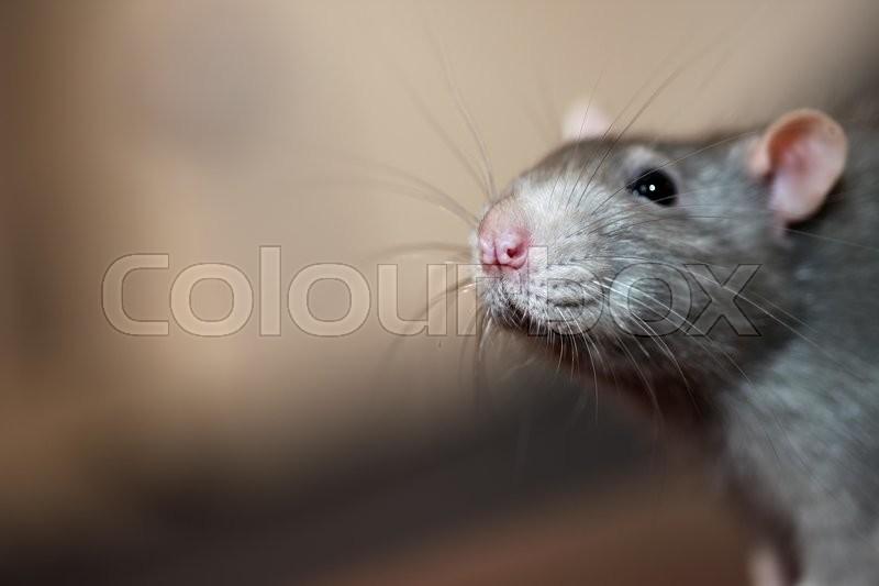 Portrait of home rat face close up, stock photo