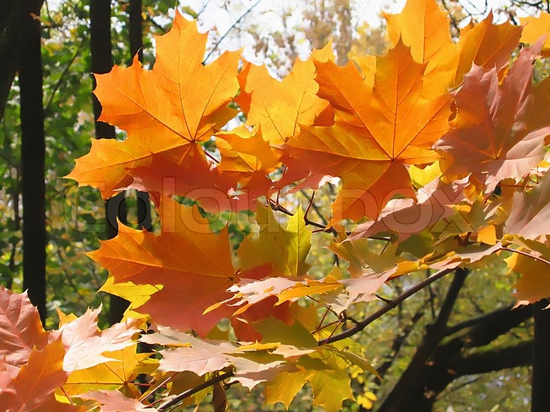 Beautiful Autumn Leaves Of Maple Tree Glowing In Sunlight