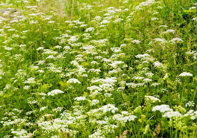 Green summer field with white flowers and tall grass stock photo green summer field with white flowers and tall grass stock photo colourbox mightylinksfo