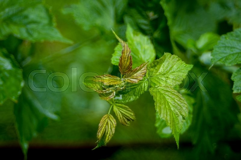 The leaves are green wet raspberry bush, stock photo