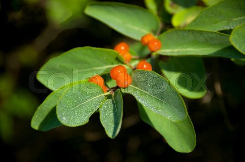 Orange Coffee Berries On A Green Bush Stock Image Colourbox