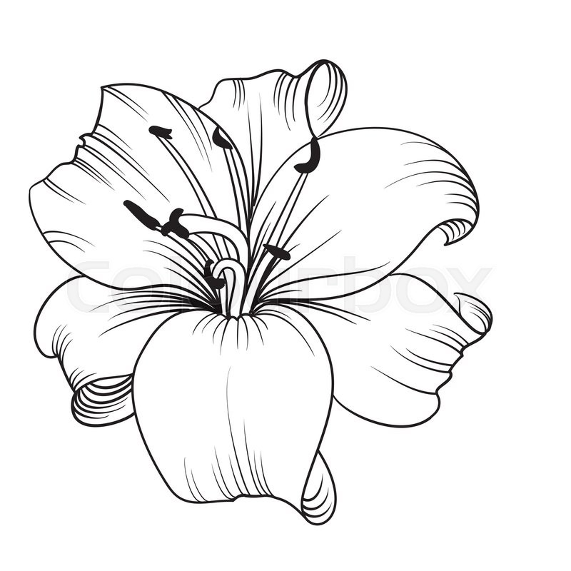 Line Drawing Lily : White lily isolated on a background card with