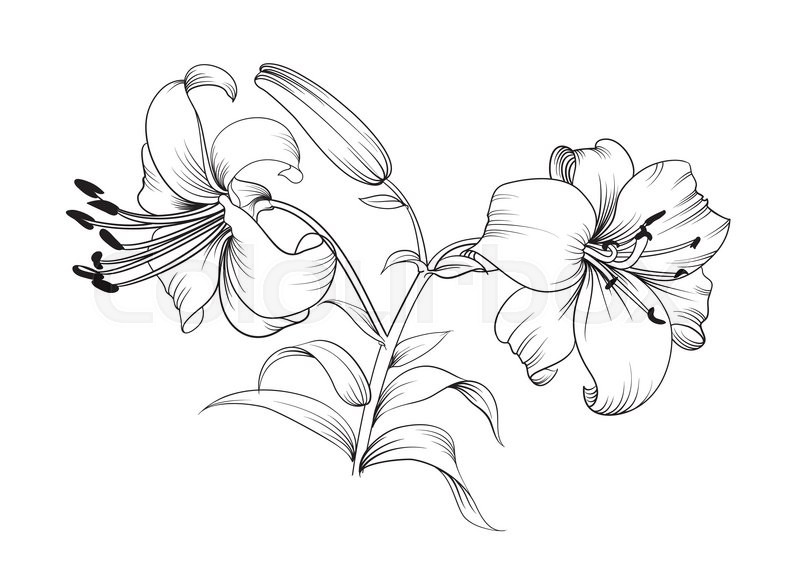 Line Art Lily : Two lily flowers floral background with blooming lilies