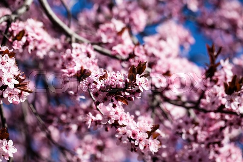 Pink cherry flowers blooming in springtime, stock photo