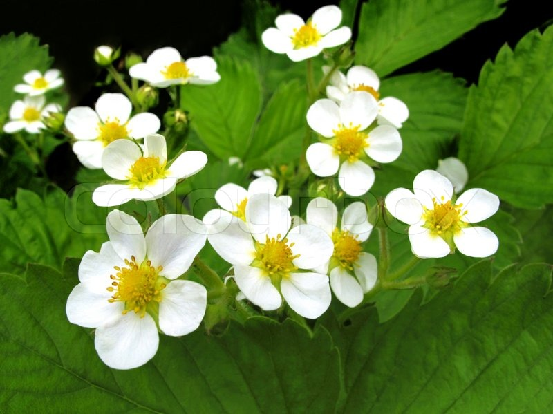 Closeup of beautiful strawberry flowers stock photo for Beautiful flowers to plant in your garden