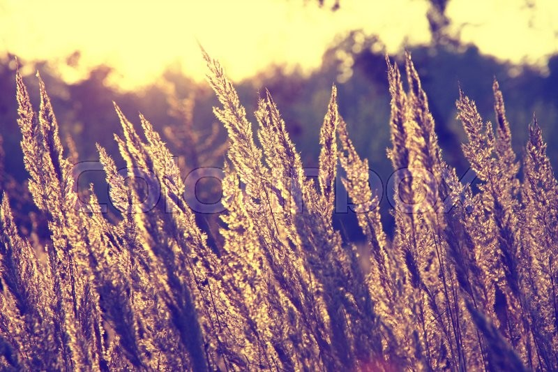 dry grass field background. Close-up Dry Grass Field Over Setting Sun Background (Instagram Filter), Stock Photo I