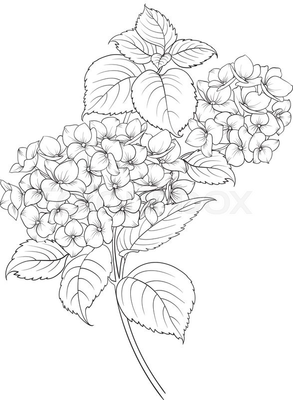 Flower Head Line Drawing : Blooming flower hydrangea on white background mop head