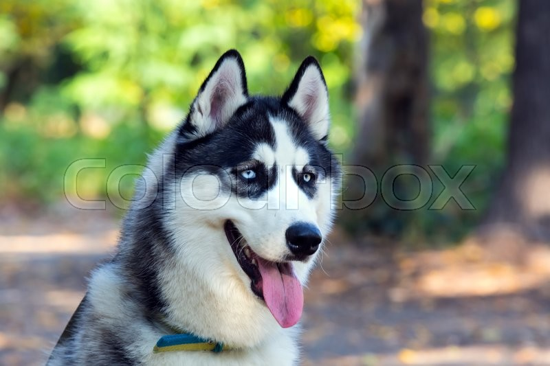 Siberian Husky Closeup Portrait In Stock Photo Colourbox
