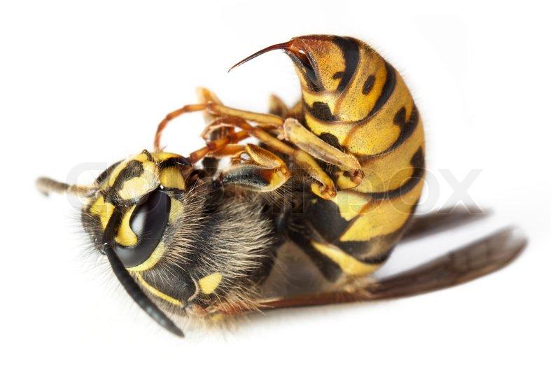Minnesota Seasons  Minnesota Ants Bees Wasps and Sawflies