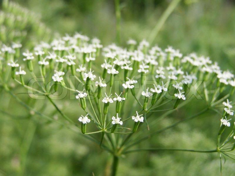 Plant with white flowers on meadow stock photo colourbox plant with white flowers on meadow stock photo mightylinksfo