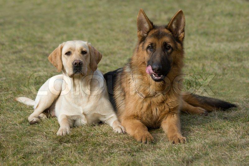 Two Friends Moscow Sheepdog And Labrador Retriever
