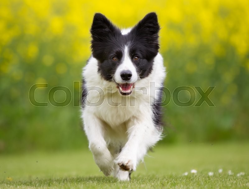 Happy and smiling Border Collie dog running outdoors in the nature on a sunny summer day with the dog tongue sticking out, stock photo