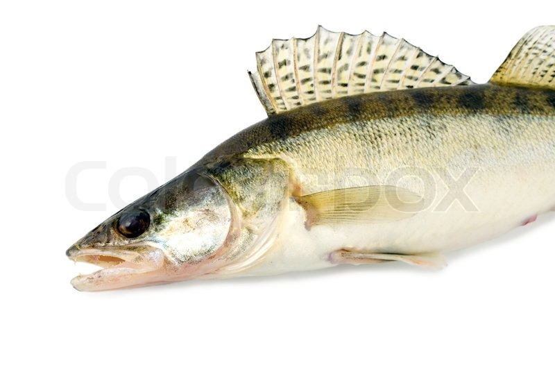 Fish walleye zander pike-perch , close-up isolated on ...