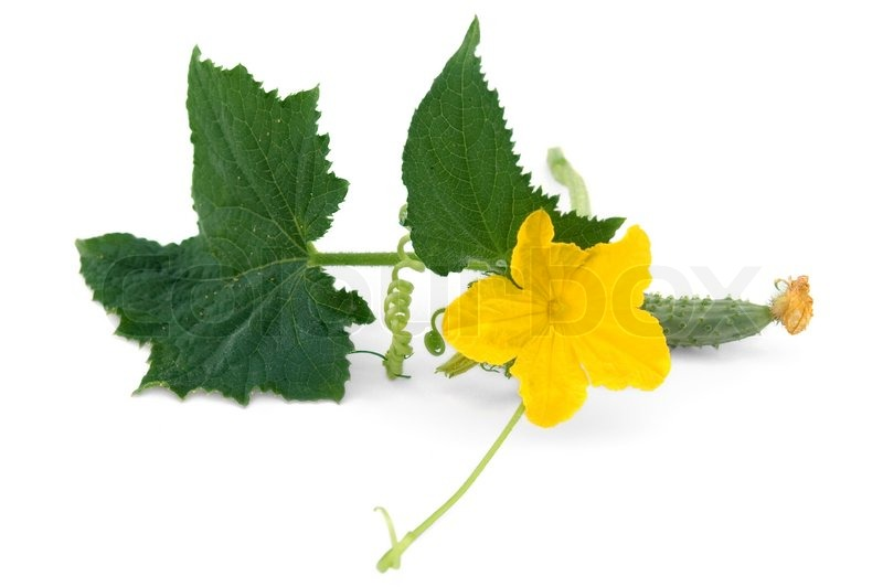 Green leaves, tendrils, yellow flowers and a small cucumber isolated on a white ...