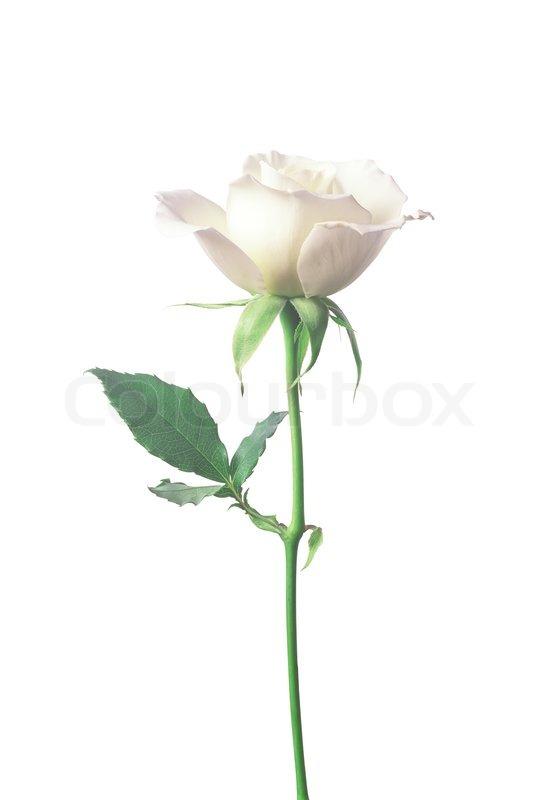 perfekte wei e rosen auf einem wei en hintergrund stockfoto colourbox. Black Bedroom Furniture Sets. Home Design Ideas