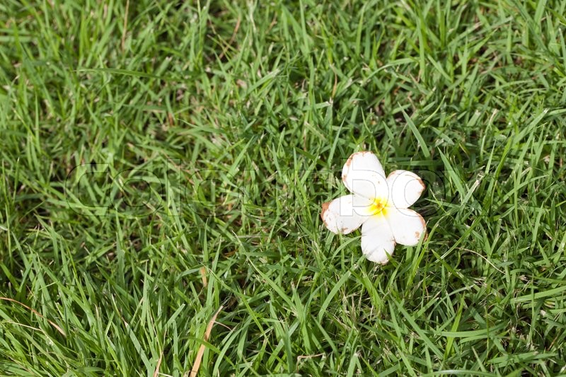 White flower that fell on the grass the flowers fall from the trees stock image of white flower that fell on the grass the flowers fall from mightylinksfo