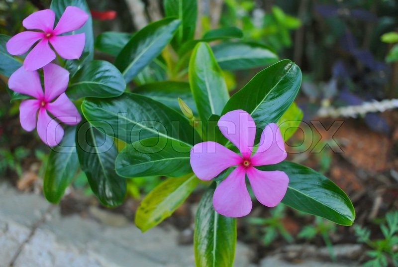 Pink rosy periwinkle flower stock photo colourbox mightylinksfo