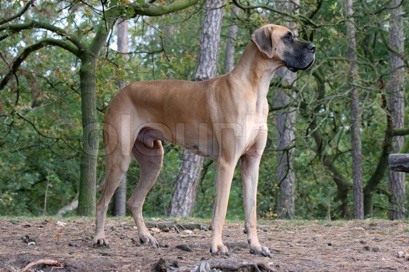 Danish dog | Stock Photo | Colourbox