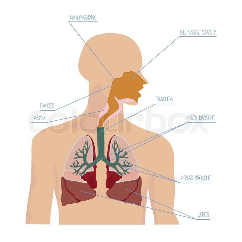 Anatomie, mund, sauerstoff | Vektorgrafik | Colourbox