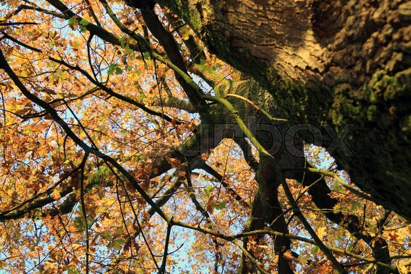 Large Oak Tree With Autumn Leaves