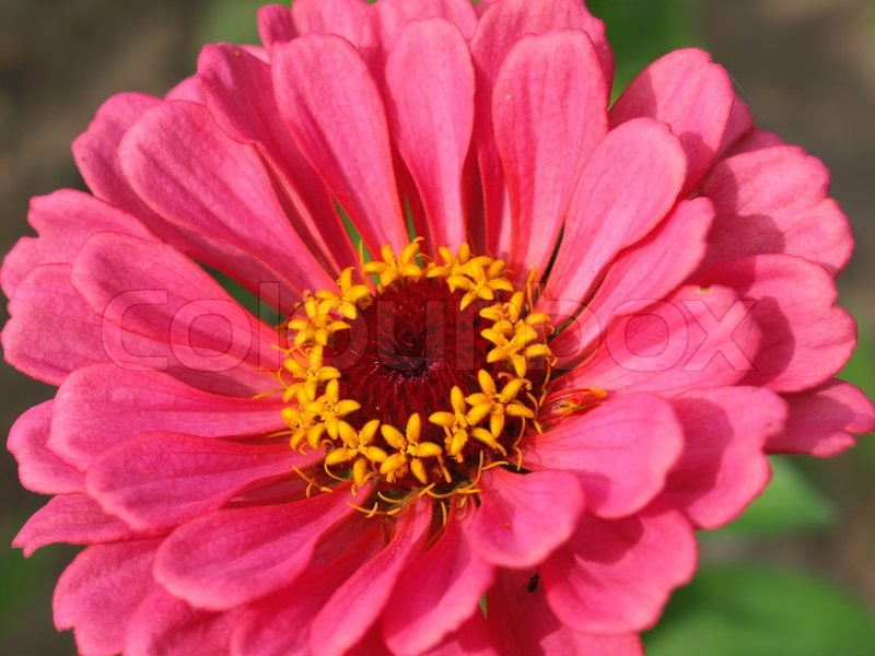 Bright pink flower with yellow middle stock photo colourbox mightylinksfo