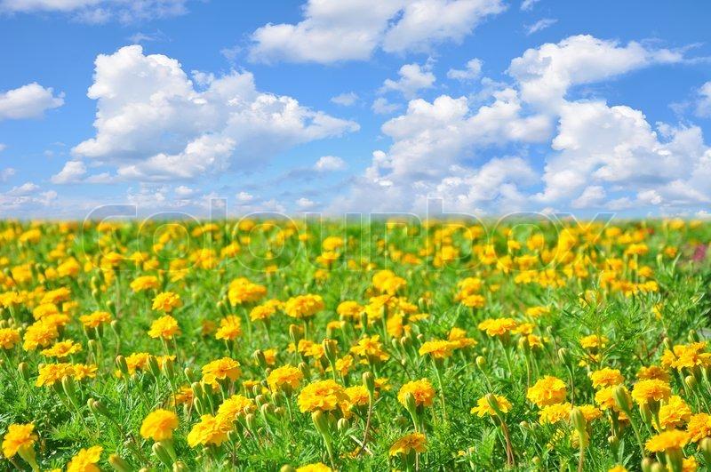 Field of beautiful yellow flowers and perfect blue sky in sunny field of beautiful yellow flowers and perfect blue sky in sunny summer day stock photo mightylinksfo Choice Image