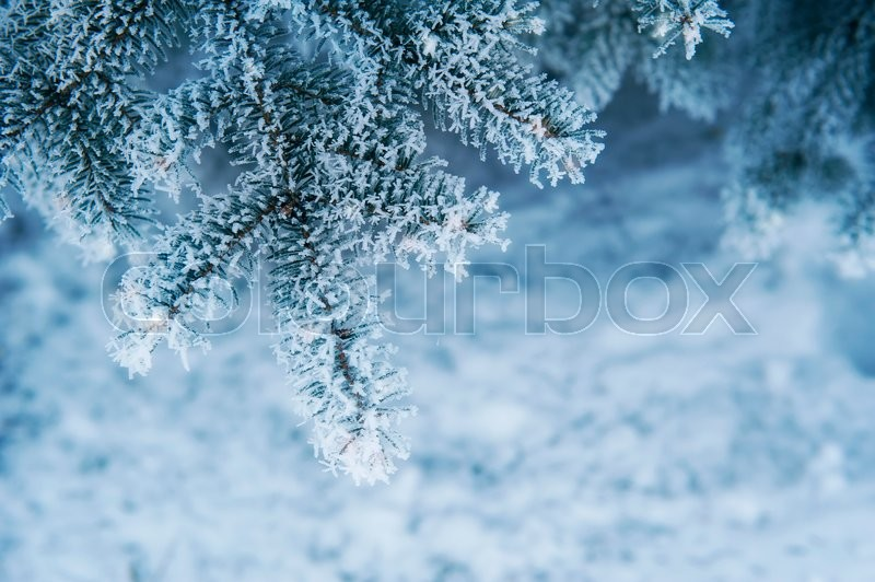 Image Of Snowy Fir Tree Background, ...