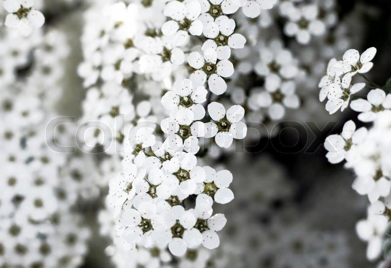 Blühender Strauch mit weißen Blüten | Stockfoto | Colourbox