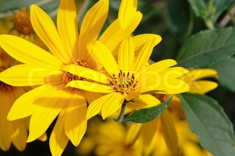 Closeup of few single yellow flowers on background with green grass closeup of few single yellow flowers on background with green grass stock photo colourbox mightylinksfo