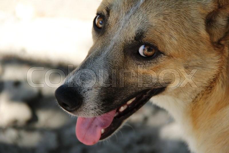 Orange dog with big smile in the street, stock photo