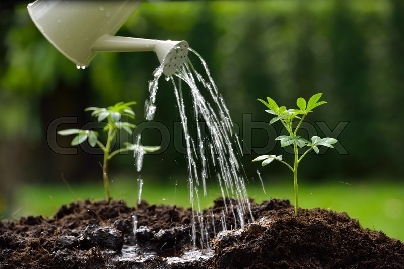 Sprouts watered from a watering can( focus on right plant ), stock photo