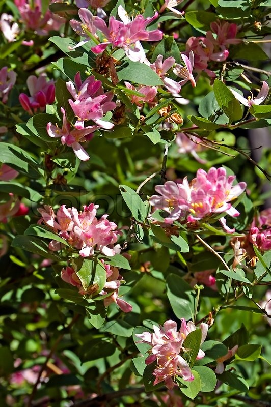 Flowering shrub with pink flowers dogberry stock photo for Pink flowering shrubs