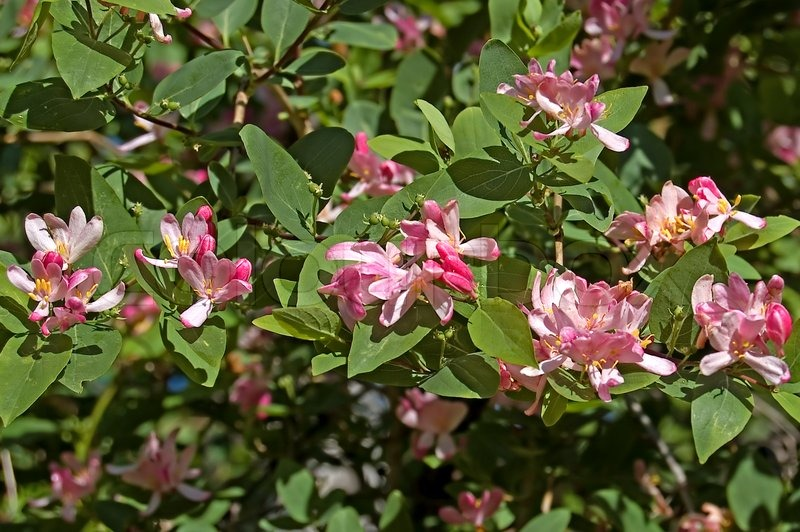 Flowering shrub with pink flowers dogberry stock photo colourbox mightylinksfo