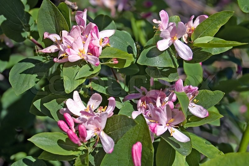 Plant identificationsolved what is this shrub pink white httpcolourboxpreview1617164 614510 flowering shrub with pink flowers dogberryg mightylinksfo
