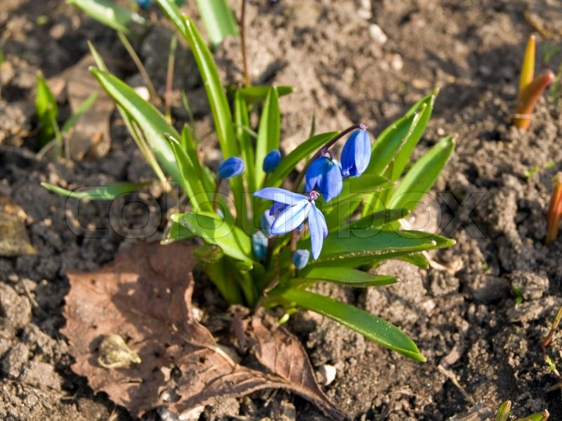 Blue Spring Flowers Growing At The Stock Photo Colourbox