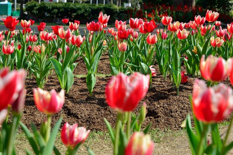 Beautiful red tulip flower, tulip in the garden field, stock photo